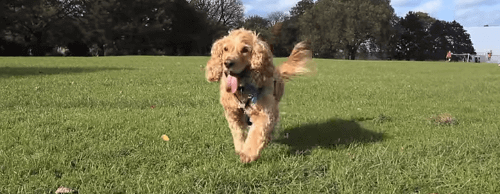 a happy dog running